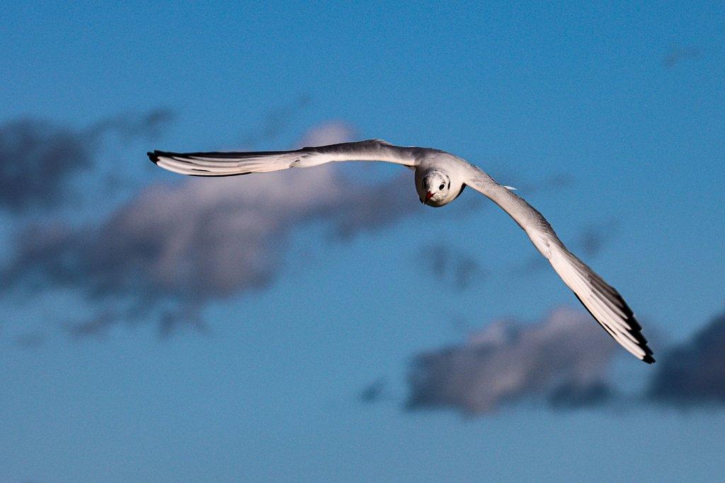 Lachmoewe-Larus-ridibundus-Black-headed-gull.jpg